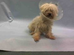 SAFE RTO 2-16-2016 --- SUPER URGENT Brooklyn Center PETER – A1065010  MALE, WHITE, SHIH TZU, 14 yrs STRAY – EVALUATE, HOLD RELEASED Reason STRAY Intake condition INJ SEVERE Intake Date 02/12/2016