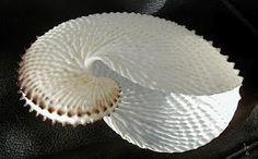 Paper Nautilus Shell