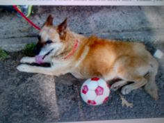 """Sept 6 CONTACT victoriahg250@gmail.com  Gorgeous Senior Shepherd Being Surrendered  """"Hi! I am in need of surrendering a Senior German Shepherd.  I'm hoping that someone can offer some help in surrendering our dog. She is a great dog, amazing with kids, loves to be around people and is great while doing things out side like going on walks and such. 13 yr old female shepherd needs: Home or rescue Good with dogs Good with kids Large friendly Spayed Owner dog in NYC Her name is Reyna"""