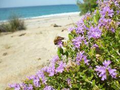 Θυμάρι. Το σπουδαιότερο μελισσοκομικό φυτό της Ελλάδας.