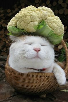 Sleepy or happy - both maybe - Shironeko, the Japanese cat, masters the art of staying calm, whatever he carries on his head l #zen #basketcat #shironeko