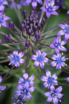 ~~Cuban Lily by ~CASPER1830~~