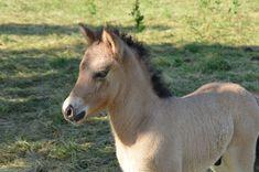 » Fohlen 2014 - Burrishof Islandpferde- und Fjordpferde-Gestüt