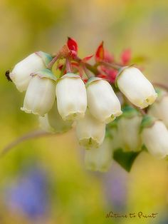 Worauf Sie beim Pflanzen und bei der Pflege von Kultur-Heidelbeeren achten sollten.