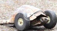 Tartaruga Sem Patas Da Frente Volta a Andar Depois De Prótese Original