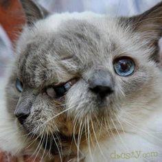 Un #gato con dos cabezas... ¿Realidad o ficción?