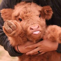 You wouldn't normally describe a cow as cute and cuddly, but the Highland cattle calf is an adorable exception!