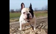 Daily Cute: This French Bulldog Loves His Mountain of Sand | Care2 Causes