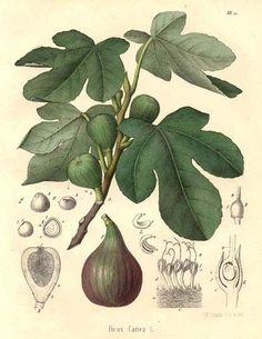 Ficus, Botanical Flowers, Botanical Art, Botanical Gardens, Vintage Botanical Prints, Botanical Drawings, Sibylla Merian, Impressions Botaniques, Illustration Botanique