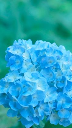 Plant, Hydrangeaceae, Hydrangea, Blue Flower
