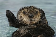 This lovely little lady is ready for her close up! Say hello to Otter 502, and meet her friend 501 on @PBS Nature   (Photo: Randy Wilder/Monteray Bay Aquarium)