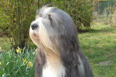 Bearded Collie - CH. Attila de Chester