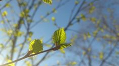 bjorkskrubb_lov Plants, Plant, Planets