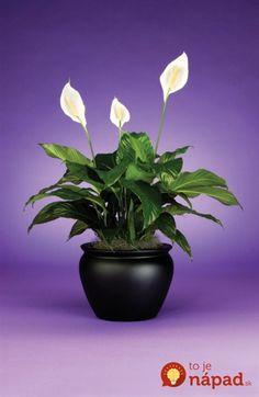 Túto rastlinu by vraj mala mať v dome každá žena: Nerobte túto častú chybu a vydrží vám krásna celé roky!