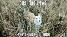 Corgi problems #corgi #babetta #babettathecorgi
