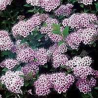 195 best fantastic flowering shrubs images on pinterest flowering little princess spirea high wide very dwarf dense mounded shrub with green leaves on wiry branches pink flower clusters in the summer mightylinksfo