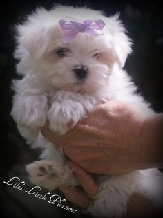 Beautiful Maltese Puppy