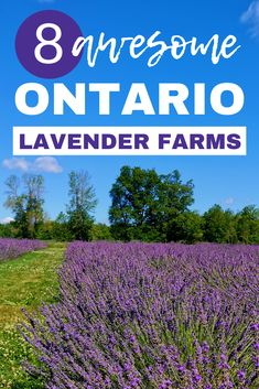 Are you looking for a fun and fabulous Ontario road trip this summer? Here are over 8 Ontario lavender farms worth visiting! I lavender farms in Ontario I lavender fields in Ontario I Ontario travel I Ontario lavender fields I road trip destinations in Ontario I places to visit in Ontario I things to do in Ontario I where to go in Ontario I places to go in Ontario I Ontario farms I what to do in Ontario I Ontario Canada I #Ontario #Canada #lavenderfields