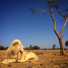 It's cold & windy today, but this makes for an impressive contrast between a white lion, the dry winter veld, a dormant tree and an electric blue sky.