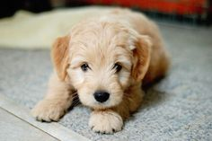 Image via We Heart It https://weheartit.com/entry/140312561/via/2585039 #adorable #amazing #awesome #beautiful #cool #cute #dog #doggy #friend #locks #love #nice #pet #photography #puppie #puppies #puppy #tender