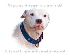 Wallace the Pit Bull... Pit Bull breed ambassador, family dog, champion athlete... and a rescue dog. He was a rock star!!  Rest in peace Wallace.
