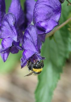 Bee searching for nectar in the Monkshood flower @ Cae Hir Gardens