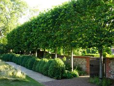 Pleaching with an Allee of Hornbeam Trees. Training & Pruning Trees Above a Fence or Hedge for Privacy in Narrow Spaces via thinkingoutsidetheboxwood.com