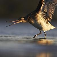 Bar tailed godwit      Lunatic long-distance flier. Loves: Alaskan & NZ summers, arctic tundra, sea worms and swamp weed. Hates: vanishing Chinese wetlands    Campaign Manager: Maori Party Co-Leader, Pita Sharples.    Photo: Jordan Kappely
