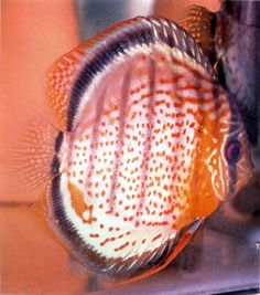 Red Spotted Green Discus (2 Inches)
