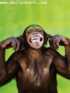 Download Monkey Do Not Want To Listen Funny Wallpapers For Your Mobile Cell Phone Smiling