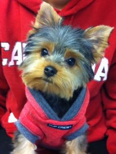 Superb Repinned Yorkie Haircut Styles Become A Pet Groomer How To Hairstyle Inspiration Daily Dogsangcom