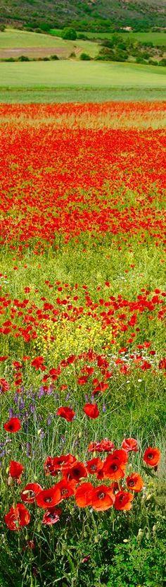 ❖ Spanish Poppy Field...Amazing