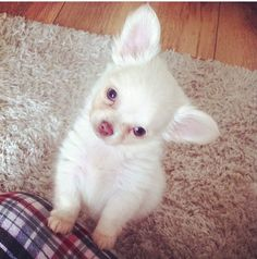 Mylo long haired chihuahua puppy <3