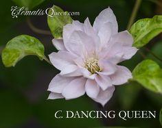 Clematis DANCING QUEEN