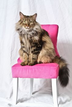 "My Maine Coon Cat ""Angel"" aka ""Fuzzy Button"""