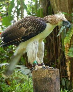 Águila monera (Pithecophaga jefferyi). Es un ave de la familia Accipitridae. Es la mayor rapaz de las selvas de Filipinas y una de las especies tropicales de águila más grandes. Es el ave nacional de Filipinas, donde se le denomina simplemente como águila filipina. No se reconocen subespecies.