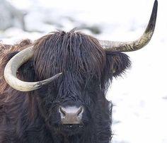 Dab d'un yak