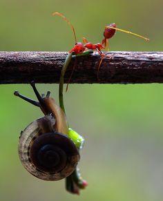 - Te tengo, ¡te tengo! | #Hormiga #Caracol #Animales