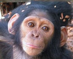 On my bucket list: hold a baby chimp. (Must be a baby because a larger one might eat my face off.)