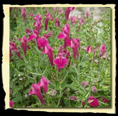 Pink Texas Skullcap, perennial, full sun, blooms late spring to early fall, low water requirements Gardening Zones, Texas Gardening, Organic Gardening, Container Gardening, Snapdragon Flowers, Texas Plants, Pink Garden, Shade Garden, Colorful Plants