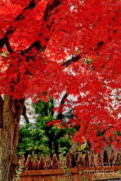 ✮ Essence of Japanese Maple Tree