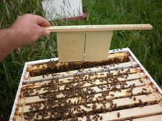 Raising Queen Cells Without Grafting – Cut Cell Method - beesource.com - image: 1breederhive