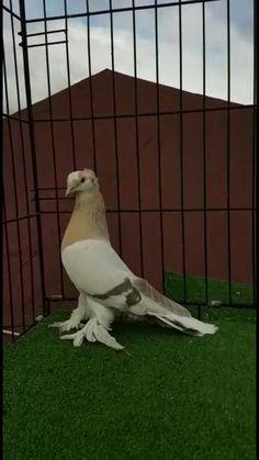 Tumbler Pigeons, Weird Birds, Pakistan, Nice, Photos, Pictures, Nice France