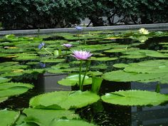 Water  lillies. Chulalongkorn University Bangkok