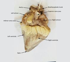 Sheep heart dissection science pinterest med school and heart anatomy anatomy and physiology sheep lab labeled ccuart Choice Image