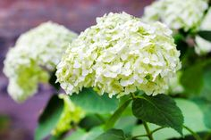 15 Low-Maintenance Shrubs - This Old House Fast Growing Hedge Plants, Rain Garden Design, Small Evergreen Shrubs, Japanese Barberry, Plants That Repel Bugs, Landscaping Shrubs, Landscaping Design, Low Maintenance Shrubs