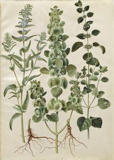 Dracocephalum moldavica; Moluccella spinosa; Melissa officinalis, KKSgb2950/64