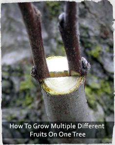 How To Grow Multiple Different Fruits On One Tree- um, what?