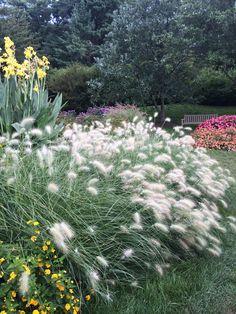 Grasses Longwood