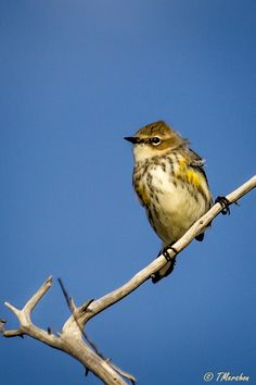 This Yellow Rumped Warbler was being quite cooperative during my tour of the Fisherman's Island National Wildlife Refuge. I especially appreciate his bed head!